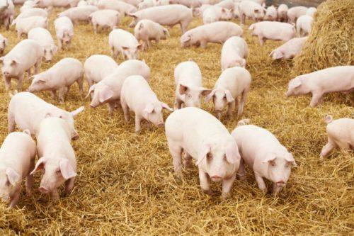 Свинарник на 50-100 голов