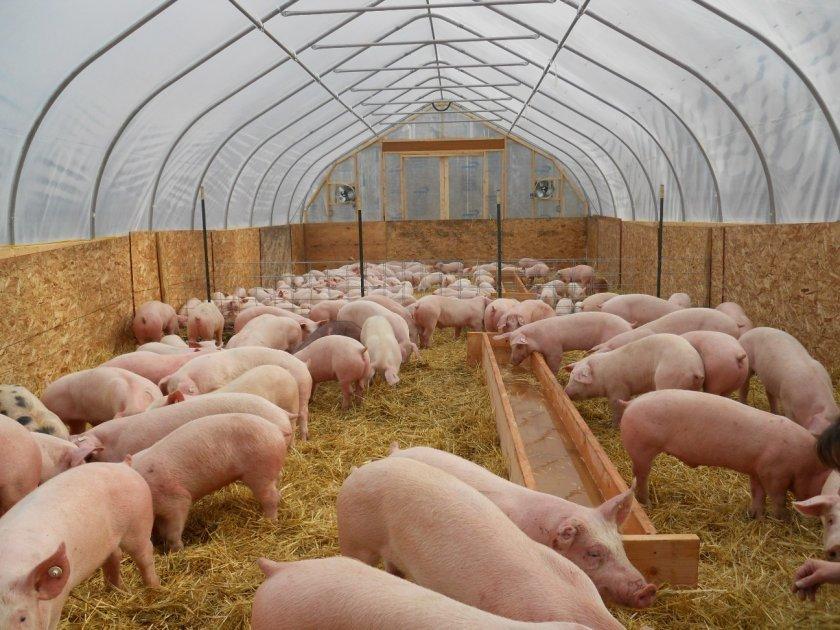 Свинарник на 200 голов
